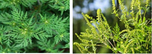 Cum arată ambrozia, planta la care mulți români au alergie